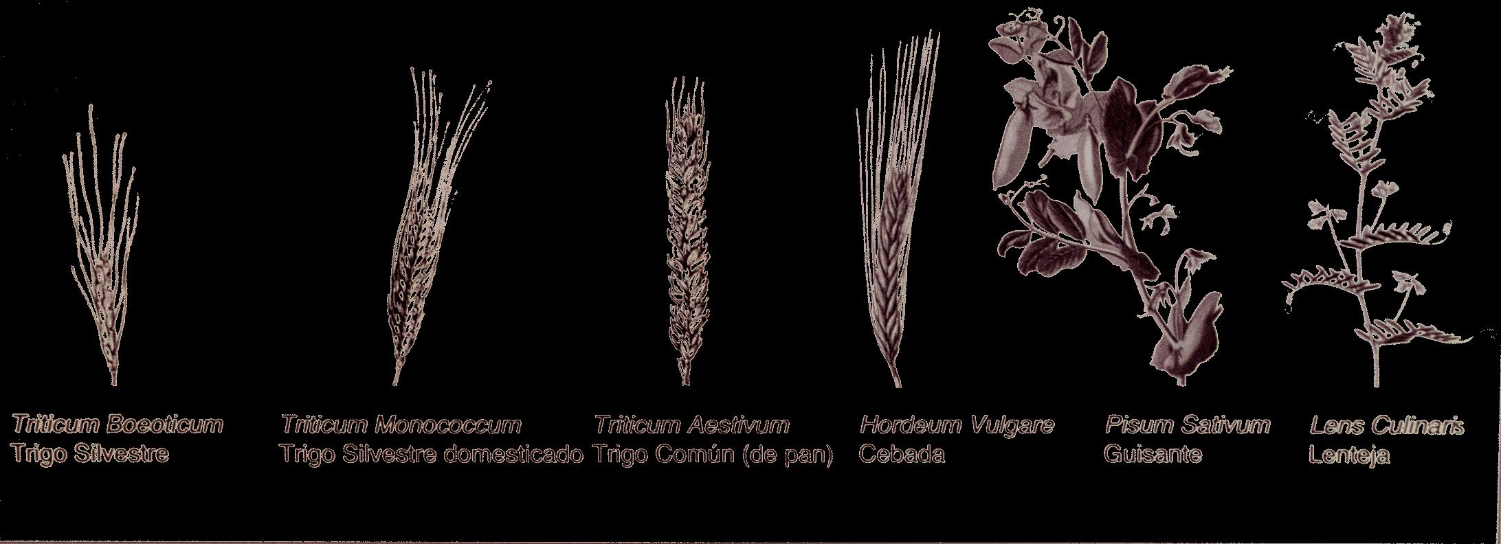 Primeras plantas utilizadas por las sociedades agrícolas
